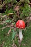 Poison mushroom Stock Image