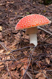 Poison mushroom Royalty Free Stock Photography