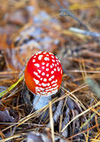 Poison mushroom. In coniferous pine forest. Autumn. close-up. Shallow depth of field stock photo