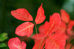 Poison Oak Stock Image