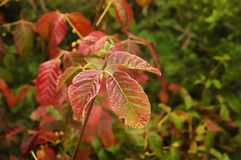 Poison Oak Royalty Free Stock Photography