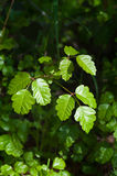 Poison Oak stock images