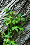 Poison Oak. In bud, growing on a cedar tree royalty free stock images