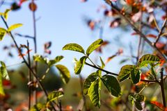 Poison oak branches and leaves on a sky background, California royalty free stock photography