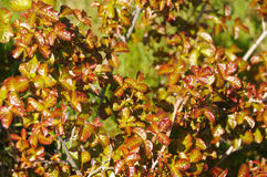 Poison Oak Bush. With New Spring Leaves Royalty Free Stock Photo