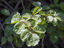 Poison Oak Bush Stock Photo