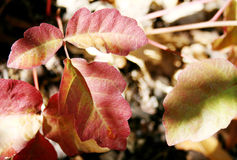 Poison Oak. Closeup of red poison oak leaves in summer stock photography
