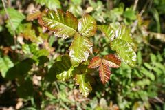 Poison Oak Leaves Close Up For Plant Identification High Quality stock images