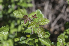 Poison Oak Royalty Free Stock Images