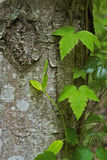 Poison Oak Vine Growing on a Tree Stock Photos