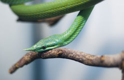 Poison snake. In terrarium royalty free stock photography