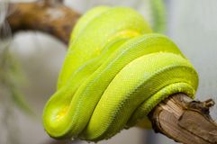 Poison snake Royalty Free Stock Images