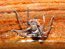 Poison spider Royalty Free Stock Images