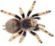 Poison Tarantula Royalty Free Stock Photos