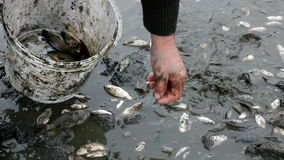 Poisoned fish. Collection of poisoned fish,video clip stock video footage
