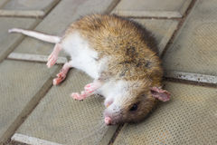 A poisoned rat Royalty Free Stock Images