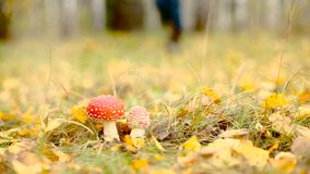 Poisonous amanita muscaria mushrooms in autumnal forest undergrowth dolly shot. HD stock video footage