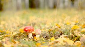 Poisonous amanita muscaria mushrooms in autumnal forest undergrowth dolly shot. HD stock footage