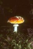 Poisonous amanita mushroom Stock Images