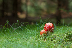 Poisonous Amanita mushrooms Royalty Free Stock Photography