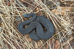 Poisonous black adder. Stock Photography