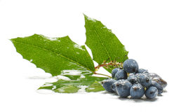 Poisonous blue berries isolated on the white Royalty Free Stock Images