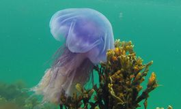 Poisonous Blue jellyfish. Cyanea lamarckii, also known as the blue jellyfish or bluefire jellyfish from Atlantic Ocean, Bodø, Norway - This jellyfish has many Stock Photo