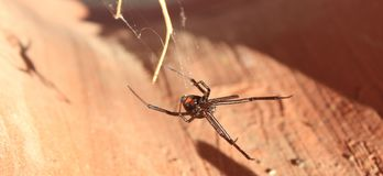 Poisonous and Creepy Black Widow Spider Royalty Free Stock Images