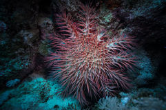 Poisonous crown of thorns sea star (Acanthaster plancii, echinoderm) Royalty Free Stock Photography