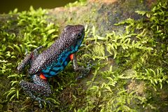 Poisonous dart frog Ameerega ingeri royalty free stock photo