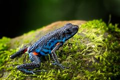 Poisonous dart frog, Ameerega ingeri a dendrobatidae amphibian. From the tropical Amazon rain forest in Colombia. Poisonous animal stock images