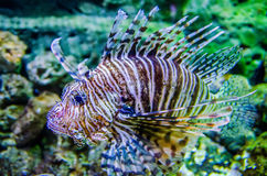 Poisonous exotic  fish Royalty Free Stock Photos