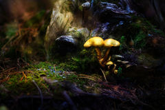Poisonous fairytale mushrooms in forest Stock Photos