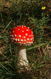 Poisonous fly agaric Royalty Free Stock Photo