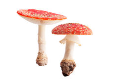 Poisonous fly mushroom fall autumn fungus isolated Stock Photography