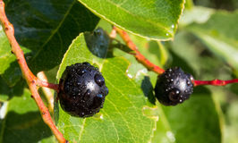 Poisonous forest blueberry. Royalty Free Stock Photography