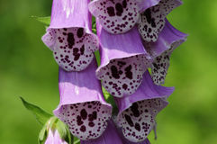 Poisonous Foxglove flower close-up Royalty Free Stock Images
