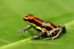 Poisonous frog Royalty Free Stock Photos