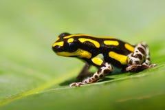Poisonous frog Stock Photos