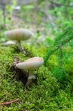 Poisonous fungus, pale toadstool close up. Moss stock photo
