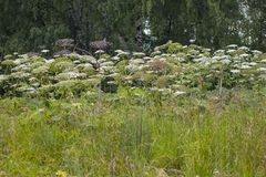 Poisonous giant Hogweed royalty free stock images