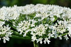 Poisonous hogweed flowers closeup Royalty Free Stock Photo