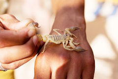 Poisonous insect scorpion on hand Royalty Free Stock Image