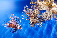 Poisonous lionfish in blue water sea Stock Image