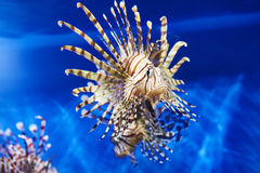 Poisonous lionfish in blue water sea Royalty Free Stock Images
