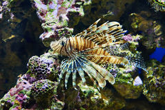 Poisonous lionfish on coral in blue water sea Stock Photo