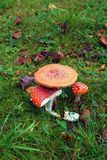 Poisonous mashrooms. Green grass background Stock Photography