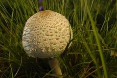 Poisonous mushroom Stock Photos