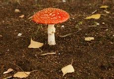 Poisonous mushroom agaric. Amanita Stock Images