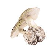 Poisonous mushroom Amanita phalloides Stock Photo
